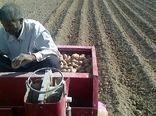 کاشت سیب زمینی در اقلید ادامه دارد
