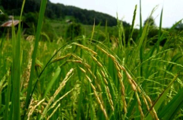 تاثیر بارشهای بهاری بر افزایش سطح زیر کشت و تولید برنج در سال 98