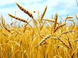 خرید تضمینی بیش از ۲۲۴ هزار تن گندم در آذربایجان غربی