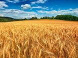 بیش از 6 میلیون هکتار از اراضی کشاورزی کشور زیر کشت گندم رفت