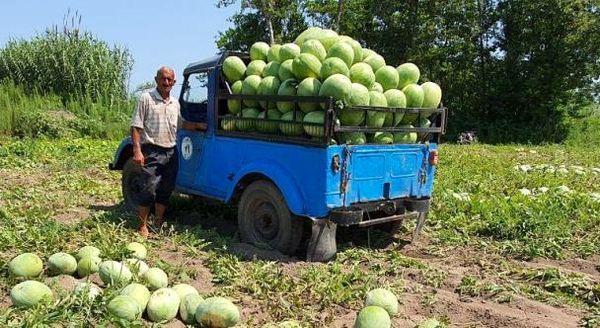 آغاز برداشت هندوانه در لنگرود