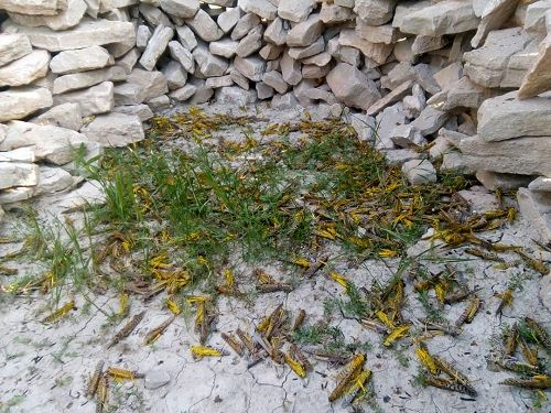 پایش 8 هزار هکتاری ملخ صحرایی در اراضی قیروکارزین
