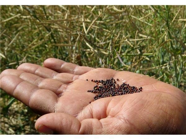 تولید 5400 تنی کلزا در ساری