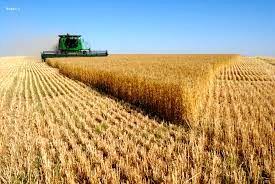 جاجرم  منطقه مستعد تولید گندم در خراسان شمالی
