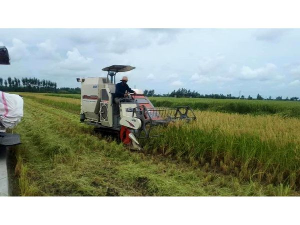 نیمی از برنج بابل برداشت شد/ برداشت مکانیزه 24 هزار هکتاری
