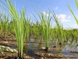 کاهش سطح زیر کشت برنج در خراسان شمالی