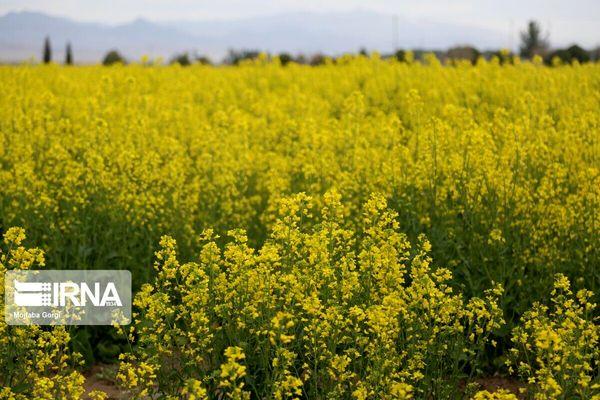 برداشت کلزا در اراضی کشاورزی دهگلان از هفت تن در هکتار گذشت
