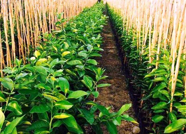 تولید سالانه بیش از ۷۰ هزار اصله نهال در سامان