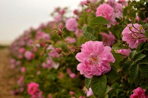 برداشت گل محمدی از باغهای جهرم