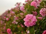 پیش بینی تولید ۷۰ تن گل محمدی در مرودشت