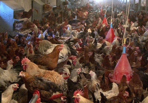 توسعه پرورش مرغ بومی اصلاح شده در واحدهای صنعتی