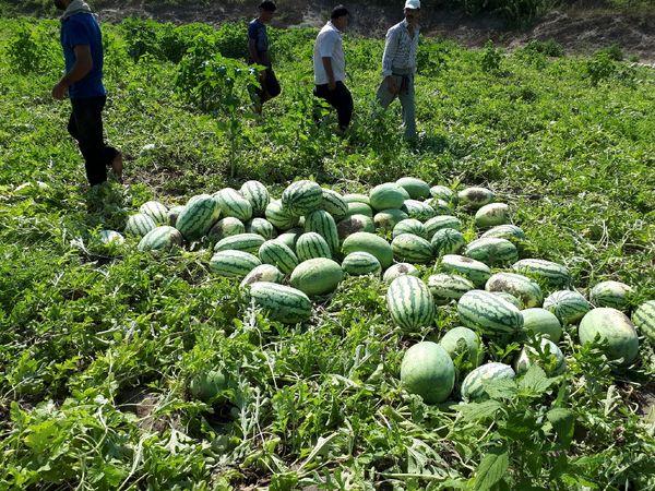 4هزار و 586هکتار سطح زیر کشت هندوانه شب یلدا