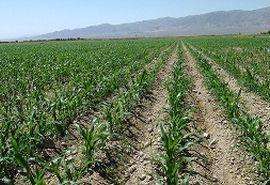 پروژه افزایش تولید علوفه در استان مرکزی اجرایی میشود