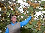 ۶۰ هزار تن کیوی از گیلان صادر شد