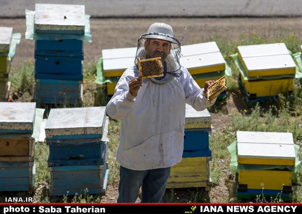 ورود زنبور ملکه براى به گزینى لازم است