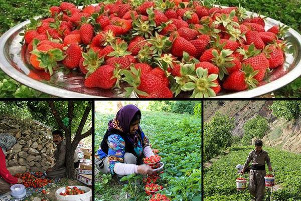 ۶۸ درصد توت فرنگی کشور در کردستان تولید میشود