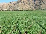 5780 هکتار از مزارع کشاورزی استان به زیر کشت کلزا رفت