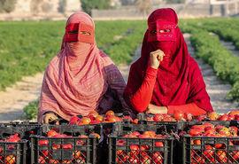 آغاز برداشت گوجه فرنگی از مزارع جنوب کشور