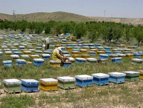 تولید 650 تن عسل در ایلام/ آغاز برداشت عسل از زنبورستانها
