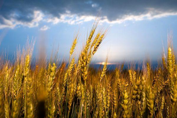 فائو تولید گندم ایران را کماکان 25 درصد بیش از میانگین 5 سال اخیر پیشبینی کرد