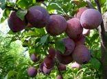 افزایش 80 درصدی تولید محصول آلو در باغات آذربایجان غربی
