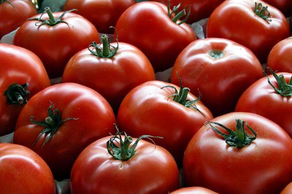 آغاز برداشت گوجهفرنگی در قزوین