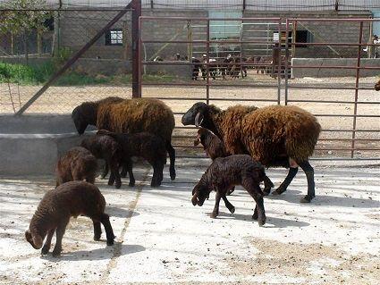 ارتقا معیشت دامداران، هدف اصلاح نژاد گوسفند افشاری است