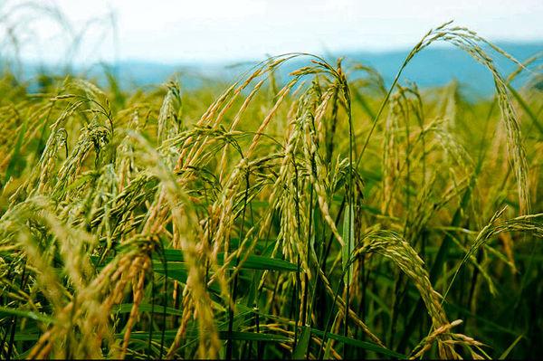 تولید 2.5 میلیون تن برنج در سال جاری