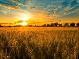 ۴۰ هزار تُن گندم از کشاورزان دهگلانی خریداری شد