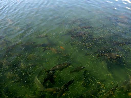 توزیع 16 هزار قطعه ماهی گرمابی در نهبندان