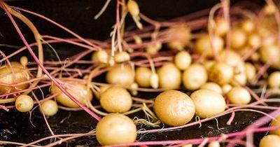 تولید سیب زمینی بذری در مزارع اقلید