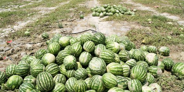 پایان برداشت هندوانه از مزارع شهرستان رودان