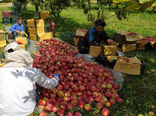 آذربایجانشرقی رتبه دوم تولید سیب را در کشور دارد