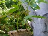 آغاز سرشاخه کاری درختان گردو شهرستان سامان