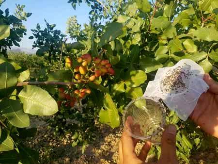 پایان عملیات رهاسازی زنبور براکون در سطح ۳۵۰۰ هکتار از اراضی زراعی استان لرستان