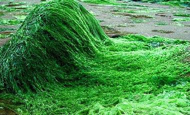 جلبک اسپرولینا برای اولین بار در مرودشت تولید شد