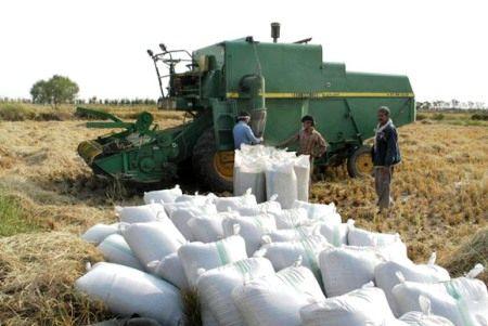 پیشبینی فراوری 750 هزار تن برنج سفید