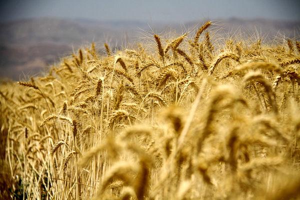 تالار محصولات کشاورزی میزبان عرضه 41 هزار تن گندم خوراکی در قالب طرح قیمت تضمینی