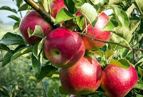 خرید تضمینی بیش از 10 هزار تن سیب درختی از باغداران آذربایجان غربی