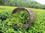 رشد 27.7 درصدی قیمت خرید تضمینی برگ سبز چای در سال 99