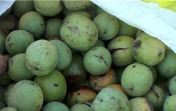 برداشت ۹۰۰ تن گردو از ۳۷۸ هکتار باغ های شهرستان نطنز