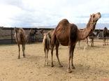 در شهرستان ریگان 6000 نفر شتر وجود دارد