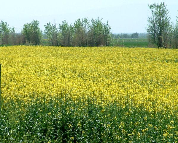 کشت کلزا در مزارع کشاورزی شهرستان آبیک آغاز شد