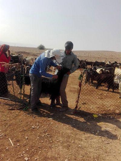 بیش از 300 هزار راس دام عشایر فارس بیمه شدند