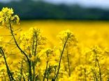 ۲۸۰ هکتار از اراضی کشاورزی شهرستان بروجن به کشت دانه روغنی کلزا اختصاص یافت