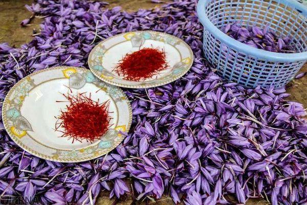 استان اصفهان دارای رتبه چهارم کشوری در سطح زیر کشت زعفران است