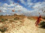 موج جدیدی از هجوم ملخهای صحرایی از عربستان و شاخ آفریقا به بوشهر