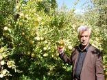 سالانه بیش از ۶۳ هزار تن سیب در استان لرستان تولید میشود