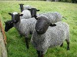 آمیختهگری اصولی مهمترین روش اصلاح نژادی گوسفندان  در کشور است