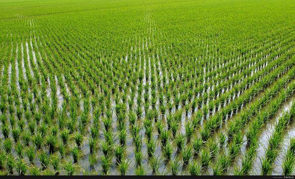 تولید 5/5 تن برنج در هکتار در سال جاری / معرفی 47 رقم برنج